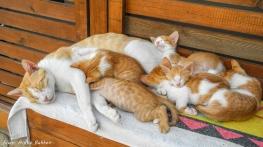Kattefamilie på Rhodos