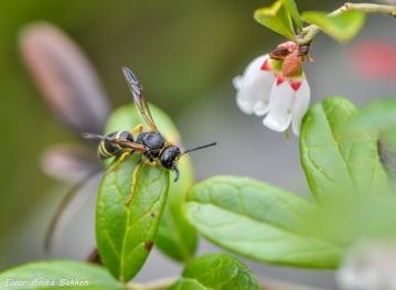 Flue på tyttebærblad