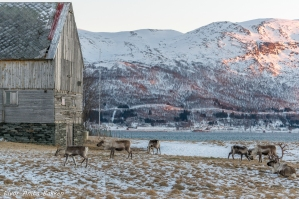 Reinsdyr beiter ved Tisnes, Kvaløya
