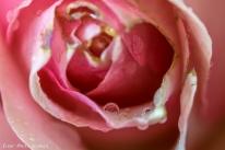 Vanndråpene på rosen