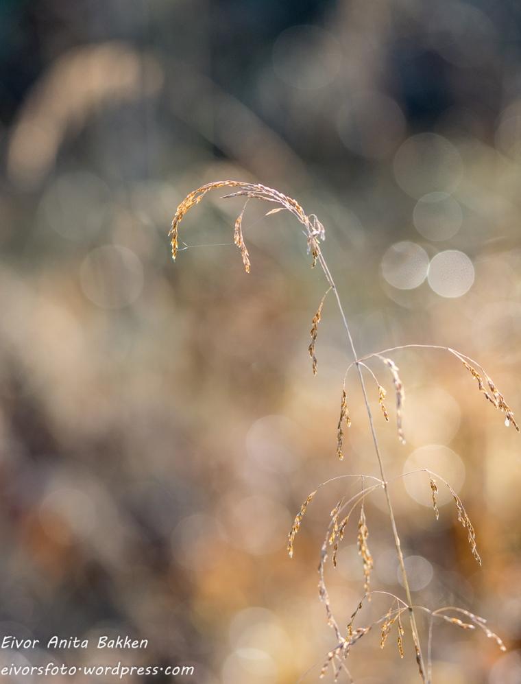 gresstrå med spindlvev.