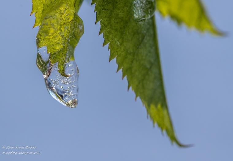 Isdråpe på grønt blad.