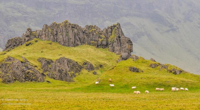 Islandsfårene beiter.